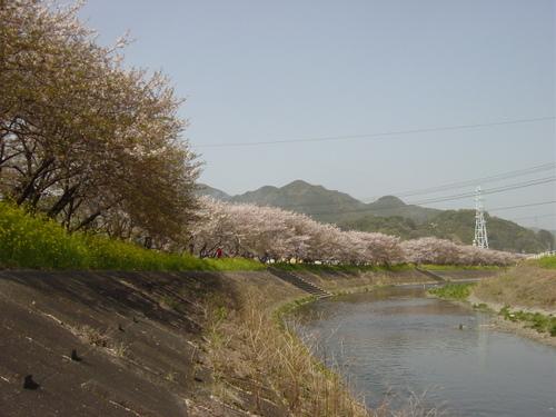 丸子川の春