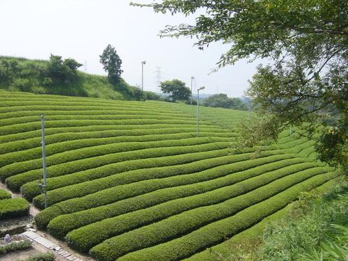 茶畑@牧ノ原台地(静岡県菊川市)